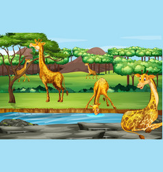 scene with giraffes at open zoo vector image