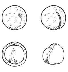 set sketch macadamia nuts vector image