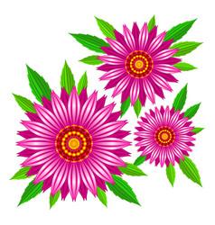 echinacea purpurea flowers vector image