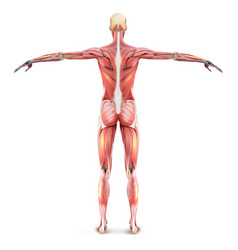 Structure human muscle frame vector