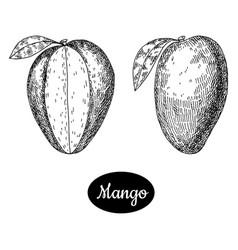 hand drawn sketch style fresh mango vector image vector image