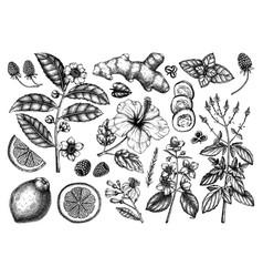 Hand sketched herbal tea ingredients perfe vector