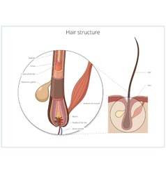 Hair structure medical educational vector image