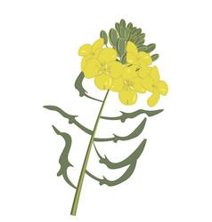 Mustard flower isolated vector
