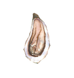 Watercolor oyster isolated on white background vector