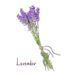 Hangs lavender bunch with a jute rope sketch vector
