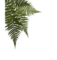 Fern leaf background vector