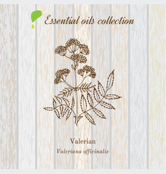 Valerian essential oil label aromatic plant vector