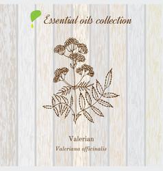 Valerian essential oil label aromatic plant vector