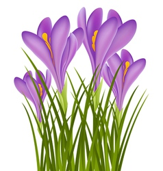 Realistic purple crocus vector image vector image