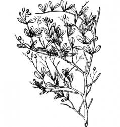 plant nitraria vector image