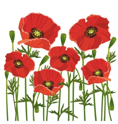 Flowers poppies isolated on white background vector image