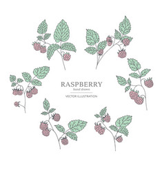 hand drawn raspberry branches vector image