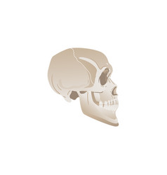 white skull profile - side view bones in human vector image
