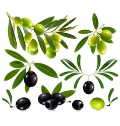Olives with leaves vector