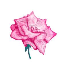 rose flower sketch vector image vector image