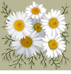 Camomile flowers vector
