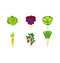 vegetables with leaves and roots set lettuce vector image