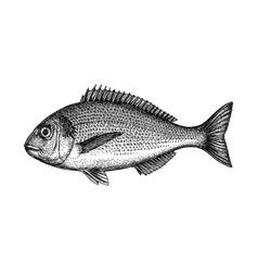 ink sketch of gilt-head sea bream vector image