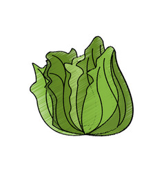 lettuce vegetable icon vector image