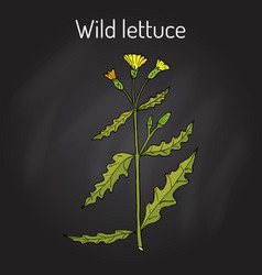 Wild or prickly lettuce lactuca serriola vector