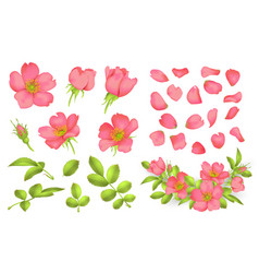 Dog-rose blooms wild rose set vector