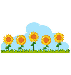 sunflowers in garden on white background vector image