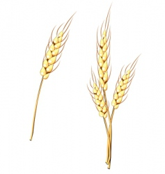 wheat stem vector image vector image