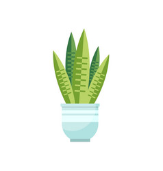 sansevieria house plant indoor flower in pot vector image