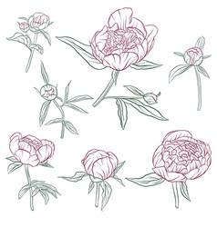 floral set of peonies vector image