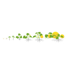 Growth stages melon plant vector