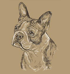 monochrome boston terrier hand drawing portrait vector image