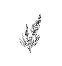 Sainfoin flowers black ink vector