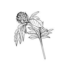 milk thistle bud black ink freehand sketch vector image