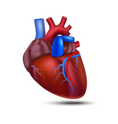 realistic detailed 3d human anatomy heart vector image vector image