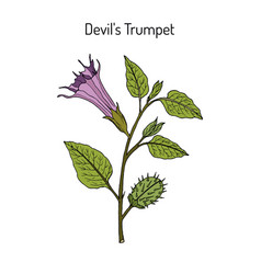 Devil trumpet datura metel medicinal plant vector