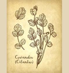 ink sketch of cilantro vector image