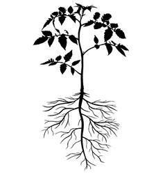 Plant tomato vector