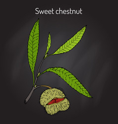 Sweet chestnut castanea sativa vector