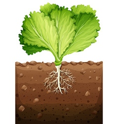 Green vegetable with leaves and roots vector