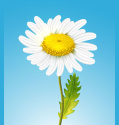 realistic daisy chamomile flower vector image
