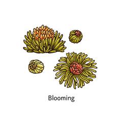kind exotic herbal tea blooming tea sketch vector image