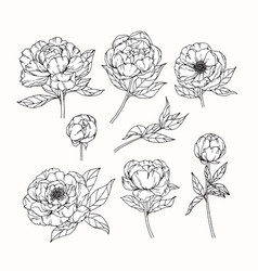 Peony flower drawing vector