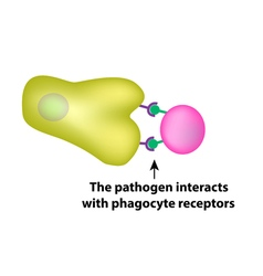 Innate immunity Adaptive specific Phagocytosis vector image
