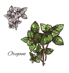 Oregano seasoning sketch plant icon vector