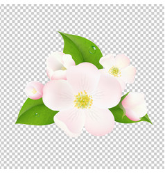 apple tree flowers with transparent background vector image vector image