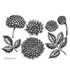 Set hand drawn black and white dahlia vector