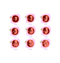 Process pregnancy from 1st to 9th months fetal vector