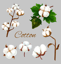 natural cotton flower plant buds and leaf vector image