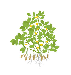 Peanut plant plant with roots and tubers flowers vector